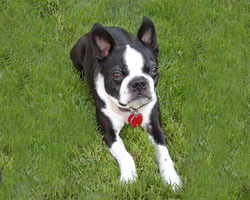 Boston Terrier Rescue